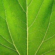 Moringa - Der Meerrettichbaum