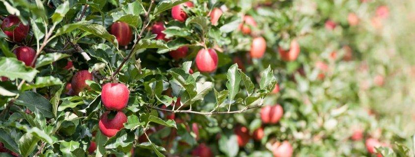 Süß oder Sauer: Welcher Apfel ist gesünder?