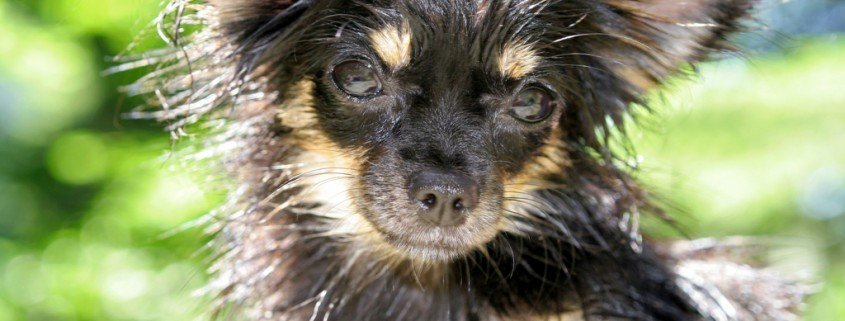 Rassetypische Hundekrankheiten